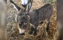 Esel-Baby versüßt Weihnachten auf Gut Aiderbichl
