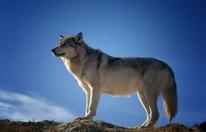 Wolf jetzt auch beim Bisamberg von Jäger gesehen