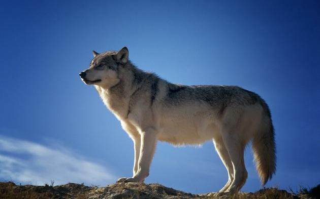Wolf 1 - Tierschutz - Channel - Konsole