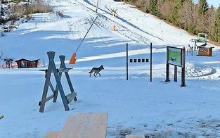 Ski heul! Wolf wagte sich bis auf Piste vor