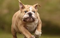 Bulldogge biss Rollator-Nachbarin (89) ins Bein