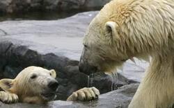 Eisbären bekommen Schutzgebiet in Alaska