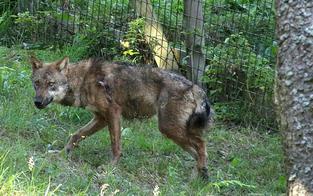 Grauwolf Fritzi wieder eingefangen