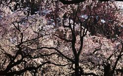 Kirschblüte in diesem Jahr besonders früh