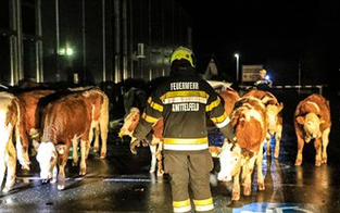 16 Kühe liefen plötzlich durch Knittelfeld