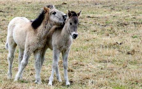 Seltene Konik-Pferde haben neues Zuhause