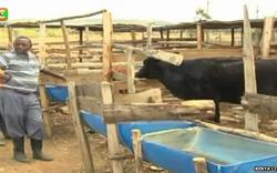 Hungrige Kuh begann, Schafe zu essen