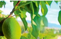 Marillen-Ernte in der Wachau startet im Juli