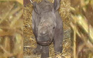 Wieder Nashorn-Nachwuchs im Zoo Schmiding