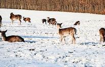 Jagd auf Wildtiere im Lainzer Tiergarten