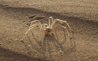 Mann (59) von Sahara-Spinne gebissen