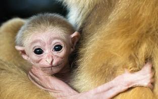 So süß ist das neue Gibbons-Baby