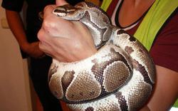 Python kroch in Schrebergarten