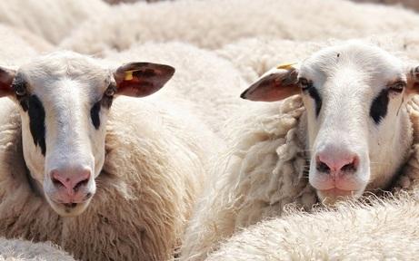 Weitere zwölf Schafe in Osttirol tot aufgefunden