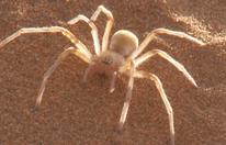 Sahara-Spinne attackierte 59-Jährigen