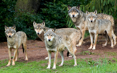 Mit Fotofallen: Jagd auf Wolf von Allentsteig