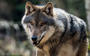 Salzburger machen Wolf zur EU-Sache